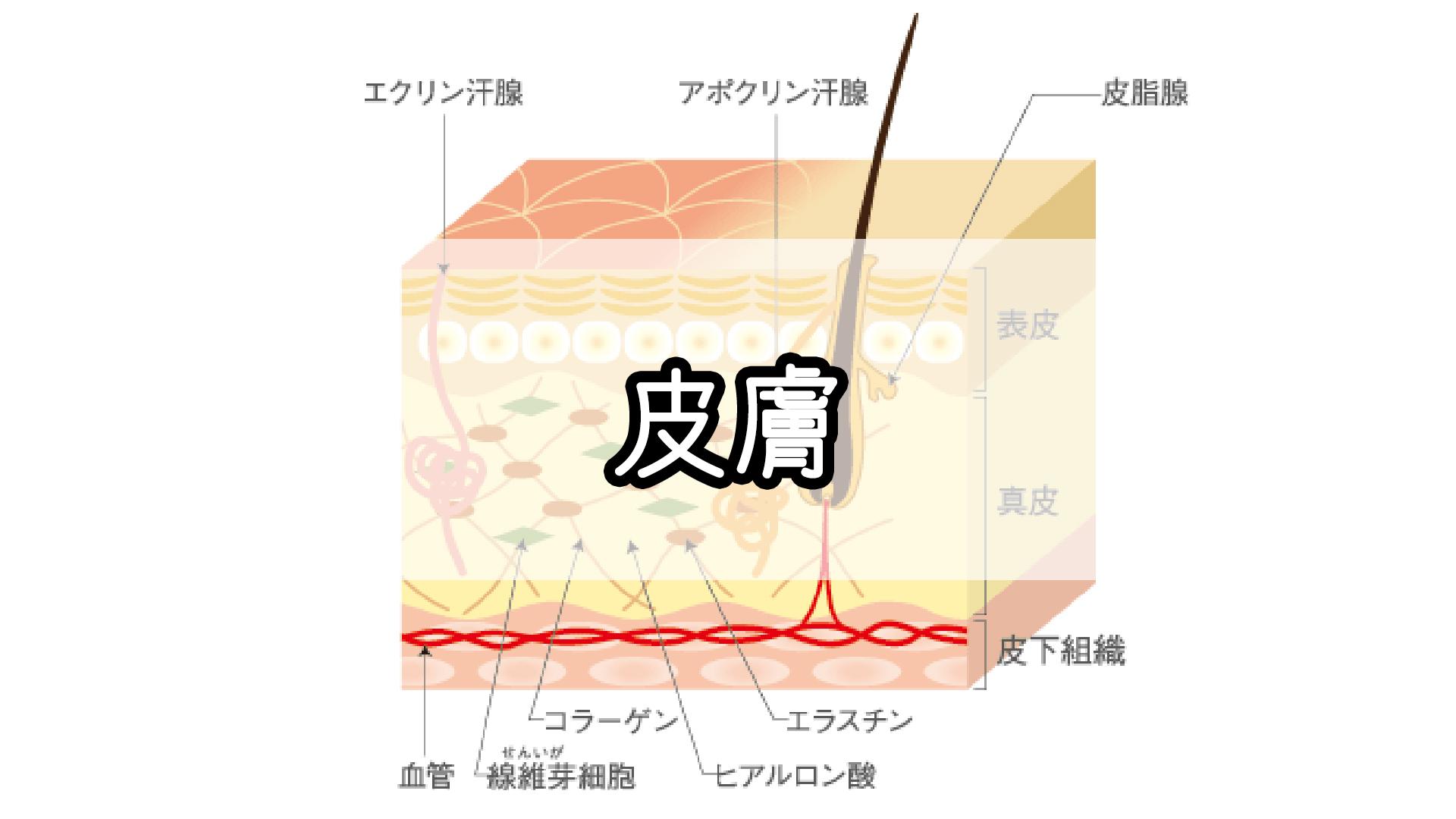 『皮膚』のゴロ・覚え方