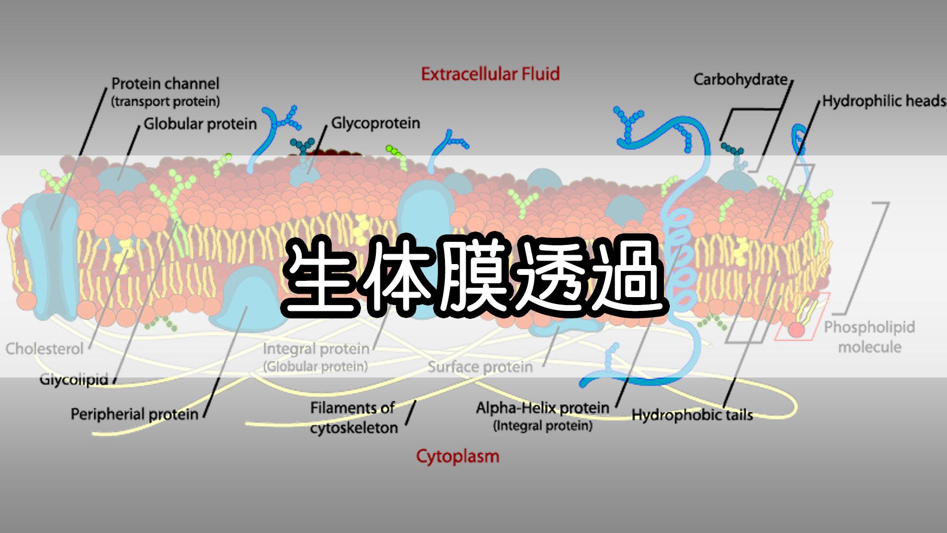 『生体膜透過』のゴロ・覚え方