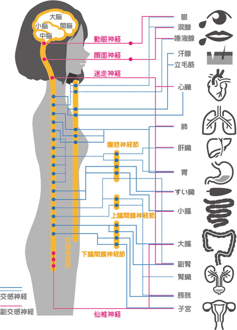 『副交感神経・アセチルコリン受容体』の解説 | Gorori -ゴロ理-