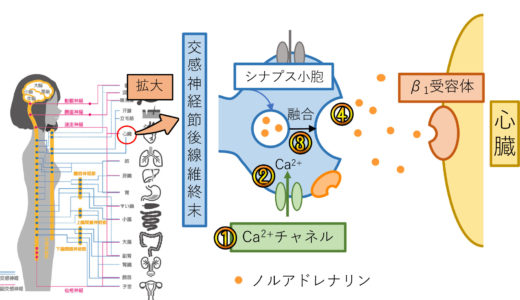 『交感神経・アドレナリン受容体』の解説