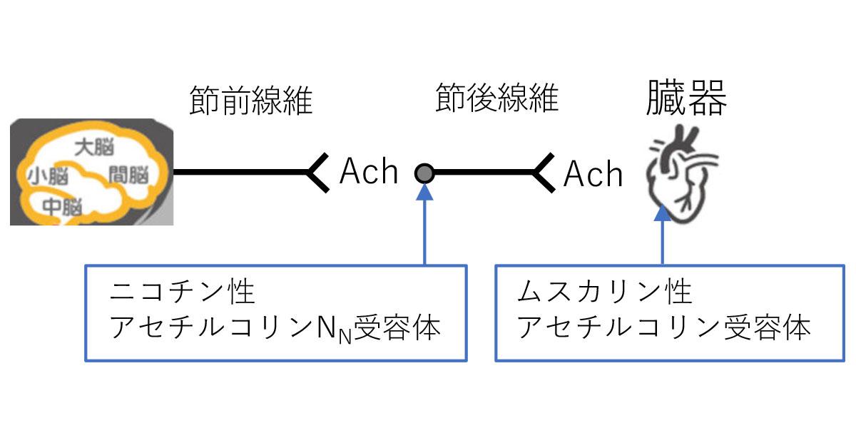 副交感神経の模式図①
