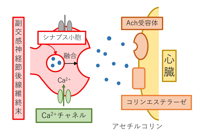 副交感神経の模式図②