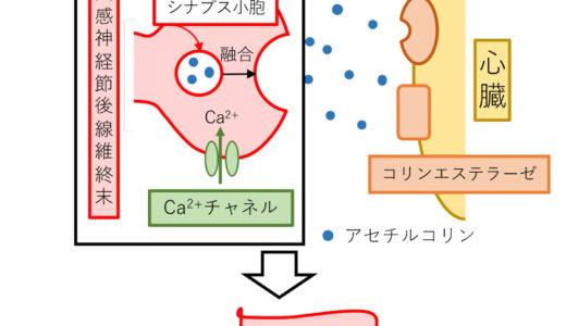 『副交感神経・アセチルコリン受容体』の解説
