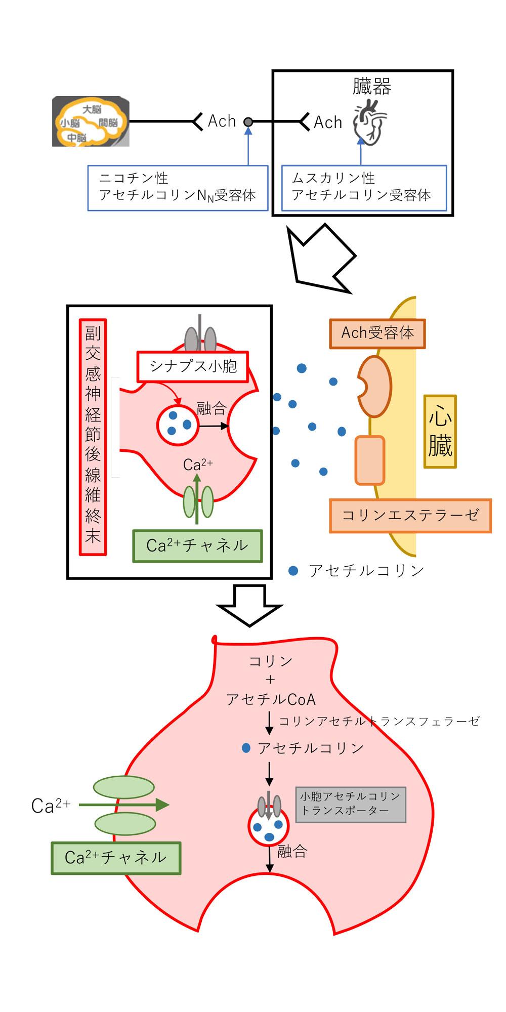 副交感神経の模式図